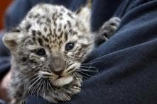 Out to Rescue a Leopard Cub in Assam, Forest Officials End up Killing it in Self-defence
