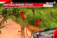 Leopard Scared Away by Dog in Rajasthan forest