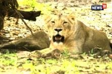 'No Foul Play': Gujarat Govt Blames Infighting for Death of 11 Gir Lions in Eight Days