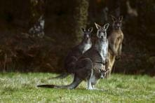 Wildlife Carer, Husband Feed 30 Kangaroos During Severe Drought; One of Them Attacks Family