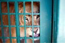 Lioness 'Adopts' Leopard Cub Separated from its Mother in Gujarat