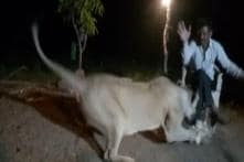 Video Of A Man Troubling A Lioness Surfaced From Gir Forest