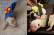 From Sushi to Superman, These Puppies in Costume are a Halloween Treat