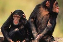 Human Babies and Chimps Laugh Alike: Study