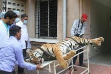 'Self-defence' Theory Was Brought in to Cover up Tigress Avni's Pre-meditated Killing, Probe Reveals