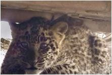 Leopard Cub Rescued from Under a Parked Car in Shimla after Being Separated from Mother