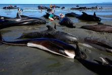 Here's Why Over 100 Whales Were Found Dead in One Week