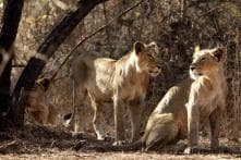 Gujarat: Two Lion Cubs Found Dead in Gir Forest, Preliminary Probe Hints at Territorial Fight