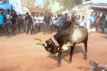 Jallikattu Leaves 13 Injured in Tamil Nadu, Another Event Planned in Madurai on Pongal