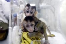 China Clones Five Gene-edited Monkeys for Human Disease Research