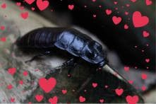 This Valentine's Day You Can Name A Cockroach After Your Ex for Just Rs.140