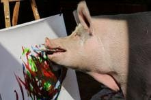 Meet Pigcasso, The Artistic Pig of Cape Town