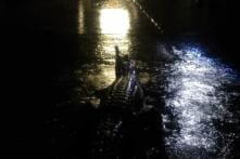 Crocodiles Take Over Australia Streets After Once-in-a-Century Floods