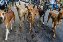 Mangaluru Man Uses Reflective Collars to Save Stray Dogs from Speedy Vehicles
