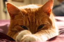 Hey Kitty! Cats Can Recognize The Sound Of Their Own Name, Finds Study