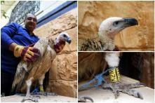 'Spy' Vulture Jailed in Yemen After it 'Infiltrated' the Country in Search of Food