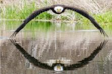 Sheer Symmetry: Photographer Captures Perfect Shot of Bald Eagle and Its Reflection