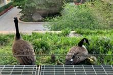 'Mrs. Duck' is Nesting at Nat Geo Headquarters And is Super Popular With Their Visitors