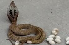 Ssscary Situation: Cobra Snake Lays 14 Eggs in Middle of Busy Karnataka Road