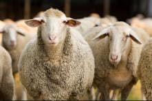 15 Sheep Join France School After Parents Fear Shutdown Due to Falling Pupil Numbers