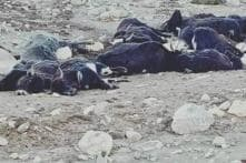 Trapped in Snow, Nearly 300 Yaks Die Due to Starvation in North Sikkim