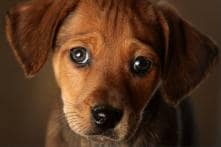It's Official, 'Puppy Eyes' Are Real and Study Shows Dogs Use it to Win You Over