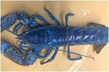 US Restaurant to Donate Rare Blue Lobster it Got in Shipment to Aquarium