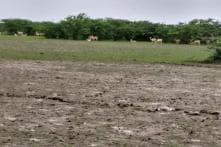Five More Blackbucks Found Dead Near Flooded National Park in Gujarat, Toll Reaches 17 in Four Days