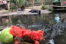Jaw-dropping Video Captures Alligator Chomping on a Watermelon in a Single Bite