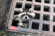 Not 'Guardian of the Galaxy': Raccoon Gets Stuck in Grate, Rescue Takes Over 2 Hours