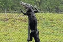 Terrifying Video Shows an Alligator Climbing a Fence at US Naval Air Base