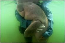 Thailand's Baby Dugong 'Mariam' Who Won Over Social Media Dies Due to Plastic in Her Stomach