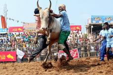 Jallikattu 2019: Here is Everything You Need to Know About the Bull-Taming Sport