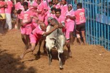 PICS: Traditional Bull-Taming Event 'Jallikattu' Begins in Madurai