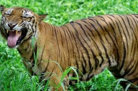 Translocated Royal Bengal Tiger Found Dead in Odisha Forest