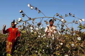 Maharashtra Farmers Sow 'Prohibited' HT Cotton to Protest Ban on Genetically Modified Crops