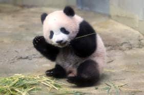 Baby Panda Xiang Xiang Makes Public Debut in Japanese Zoo