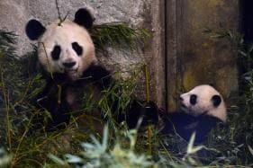 Pandamania: Where to See Pandas in Europe, N America, Asia