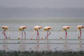 Flamingo Birds Arrive at Sambhar Salt Lake in Rajasthan