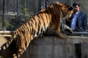 Meet The Nagpur Surgeon Who Is Trying To Give His Adopted Tiger New Prosthetic Paw