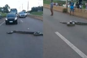 WATCH: Traffic Comes to a Halt As Anaconda Crosses Highway in Brazil