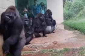 WATCH: Gorillas Ape Humans as They Avoid Rainfall at Zoo in a Hilarious Video