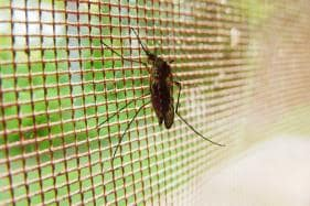 Cure for Malaria? Genetically Modified Fungus Wiped Out 99% Parasite-Infested Mosquitoes in Trial