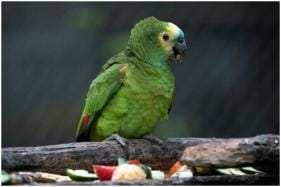 How Parrot Named 'Freddy Krueger' Survived an Abduction, Shootout and Snakebite