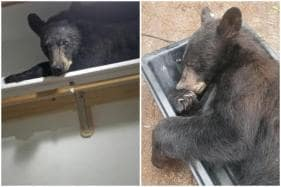 Lazy Bear Found Napping After Ripping Apart Room at US House, Yawns When Police Arrive