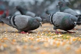 Commuter Who 'Possibly Slipped' on Pigeon Droppings Gets Rs 24 Lakh as Compensation
