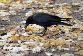 Not Just Humans, Crows Also Behave More Optimistically After Using Tools