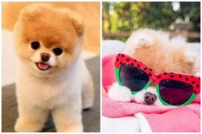World's Cutest Dog Boo Dies of Heart Break, Take a Look at His Cutest Moments