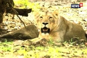 11 Lions Have Died in Gir Forest in Past 11 Days