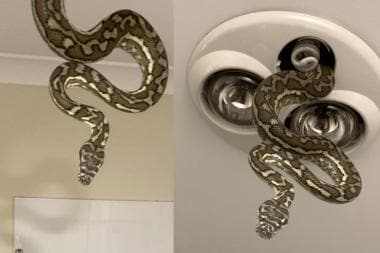 Snaking In: A Giant Python Creeps Into Bathroom as Children are